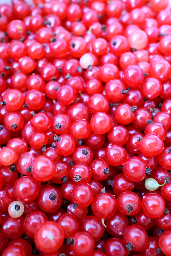 Redcurrant, in the middle of August, Rovaniemi, Finland
