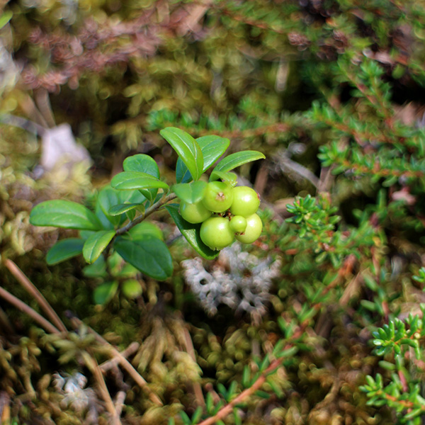 Cowberry, middle of August, north Finland