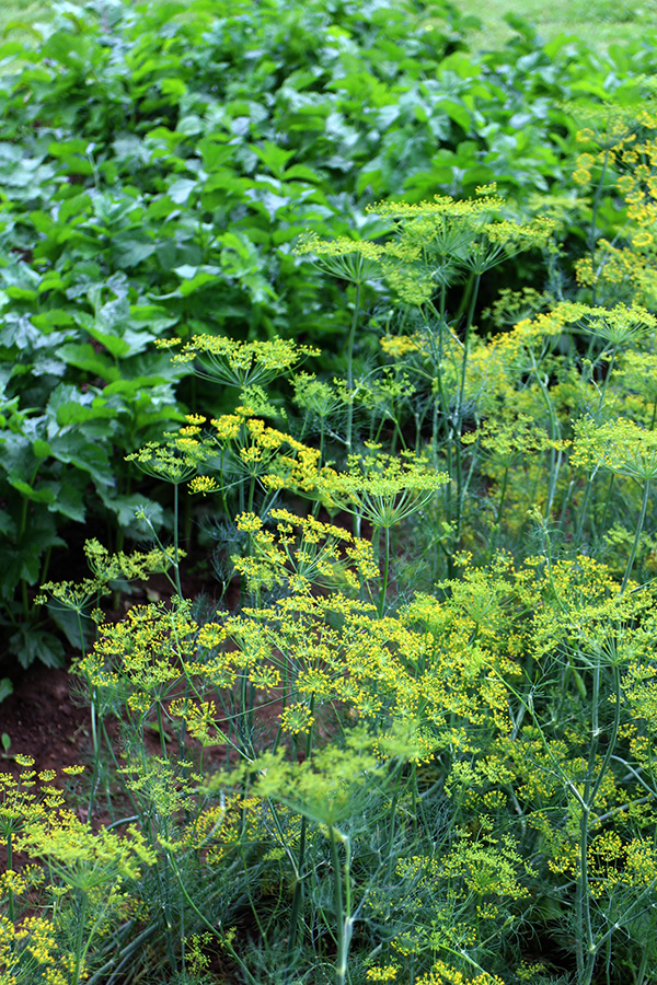 Dill, middle of August, Koivu, Finland