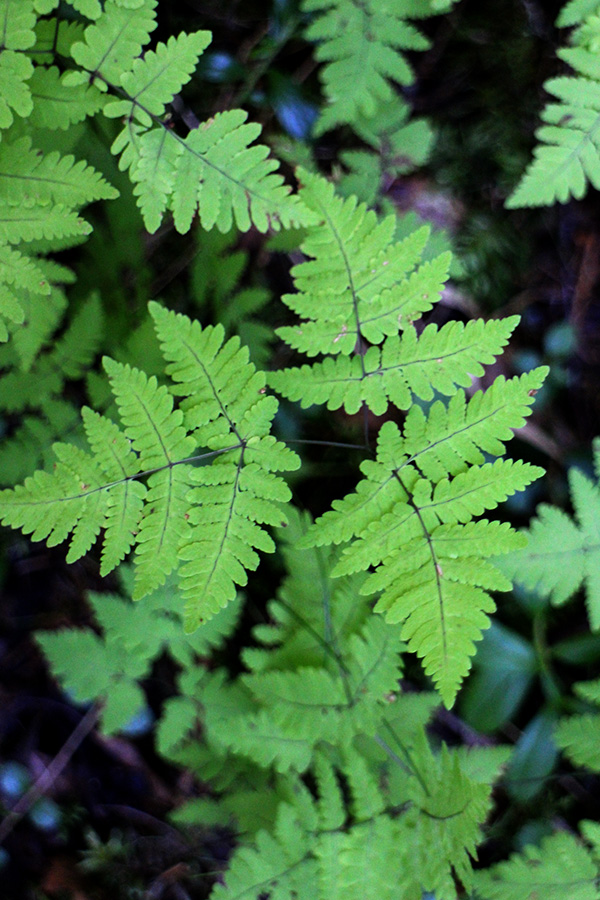 Fern, middle of August, Koivu, Finland