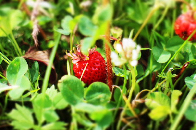 Almost wild strawberries